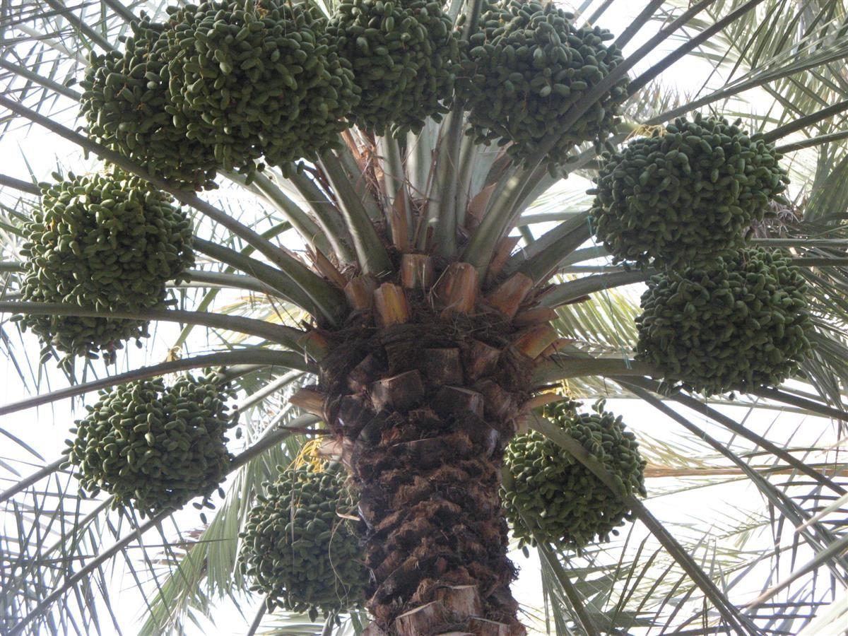 Исмаил Шангареев - плодородные земли Аль-Айна